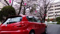 cherry_blossoms01.jpg