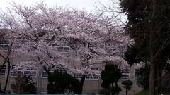 cherry_blossoms02.jpg